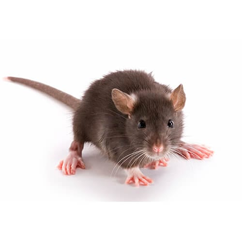 Rats Singapore