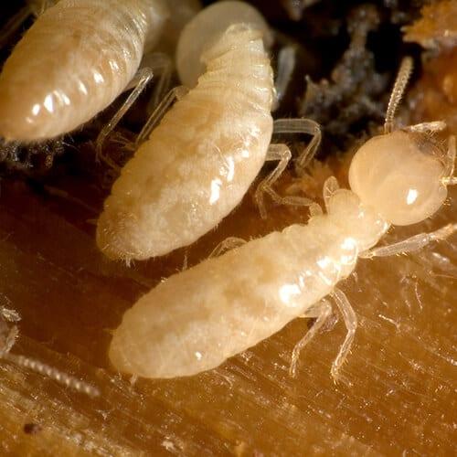 http://wipeoutpestcontrol.com.sg/termites/