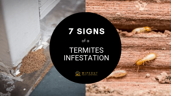 7 Signs Of A Termites Infestation Wipeout Pest Control