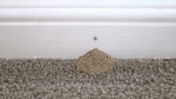 Termites Droppings