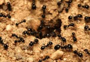 black ants in your home
