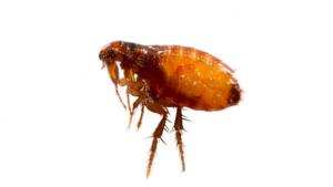 fleas treatment