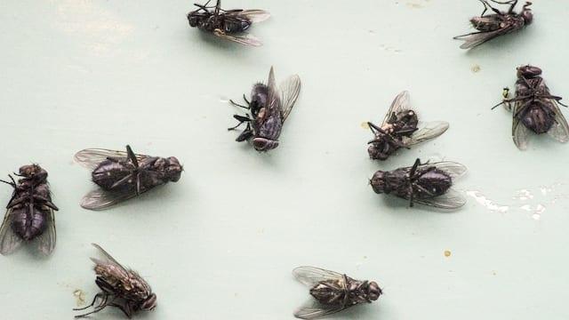 flies in house
