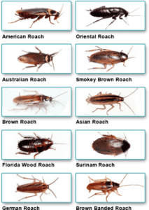 cockroach types