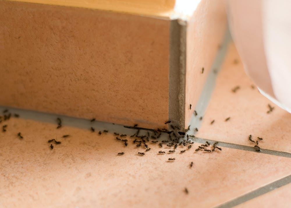 how to get of ants in your home